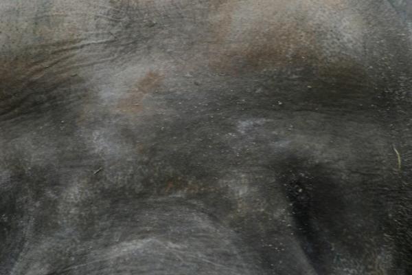 aziatische-olifant-00159DE92E92-6077-9ADF-331D-5B5E4FA251D5.jpg